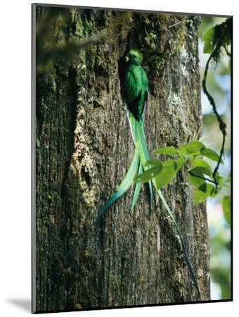 Male Resplendent Quetzal Bearing Food for its Nestlings-Steve Winter-Mounted Photographic Print