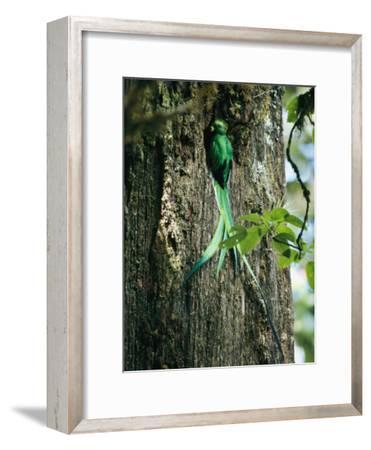 Male Resplendent Quetzal Bearing Food for its Nestlings-Steve Winter-Framed Photographic Print