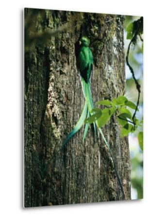 Male Resplendent Quetzal Bearing Food for its Nestlings-Steve Winter-Metal Print