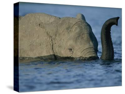 A Young Elephant Swims Across the Chobe River-Chris Johns-Stretched Canvas Print