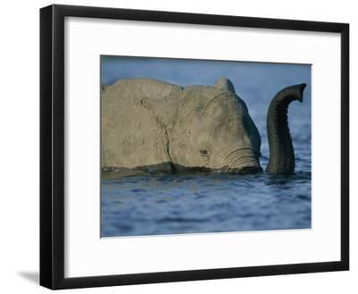 A Young Elephant Swims Across the Chobe River-Chris Johns-Framed Photographic Print