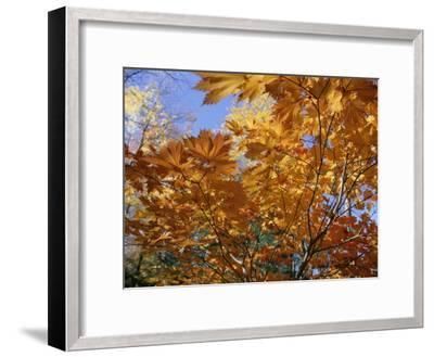 Brilliant Yellow Japanese Maples (Acer Japonicum) Exhibit Fall Colors-Darlyne A^ Murawski-Framed Photographic Print