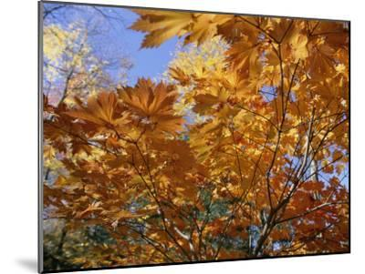 Brilliant Yellow Japanese Maples (Acer Japonicum) Exhibit Fall Colors-Darlyne A^ Murawski-Mounted Photographic Print