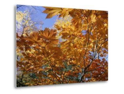 Brilliant Yellow Japanese Maples (Acer Japonicum) Exhibit Fall Colors-Darlyne A^ Murawski-Metal Print