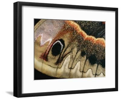 A Close up of a Cecropia Moths Wing-Darlyne A^ Murawski-Framed Photographic Print