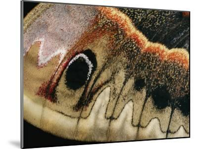 A Close up of a Cecropia Moths Wing-Darlyne A^ Murawski-Mounted Photographic Print