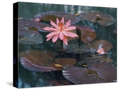 Water Lily Plants-B^ Anthony Stewart-Stretched Canvas Print