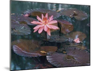 Water Lily Plants-B^ Anthony Stewart-Mounted Photographic Print