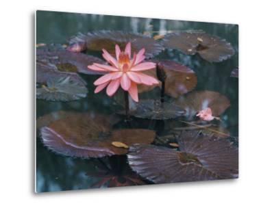 Water Lily Plants-B^ Anthony Stewart-Metal Print