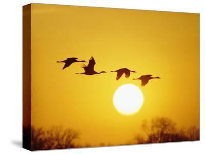 Silhouetted Sandhill Cranes against a Setting Sun-Lowell Georgia-Stretched Canvas Print