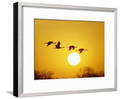 Silhouetted Sandhill Cranes against a Setting Sun-Lowell Georgia-Framed Photographic Print