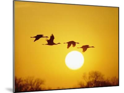 Silhouetted Sandhill Cranes against a Setting Sun-Lowell Georgia-Mounted Photographic Print