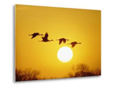 Silhouetted Sandhill Cranes against a Setting Sun-Lowell Georgia-Metal Print