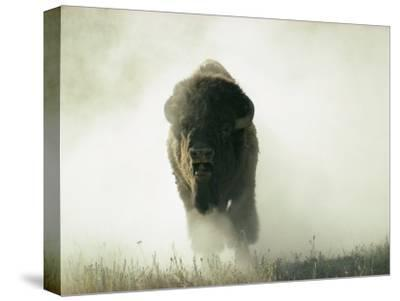 Bison Kicking up Dust-Lowell Georgia-Stretched Canvas Print