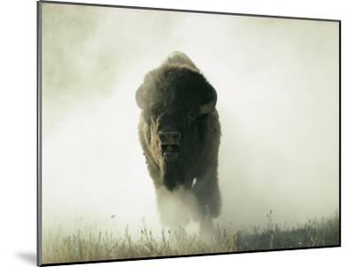 Bison Kicking up Dust-Lowell Georgia-Mounted Photographic Print