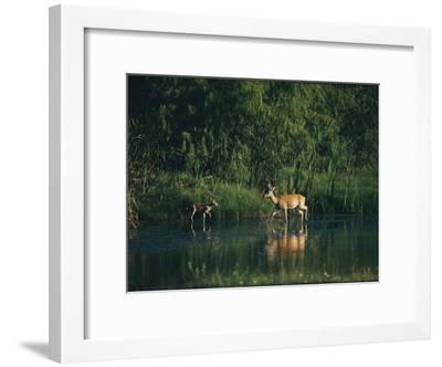 White-Tailed Deer Enjoy Year-Round Asylum at the Aransas Refuge in Coastal Texas-Farrell Grehan-Framed Photographic Print