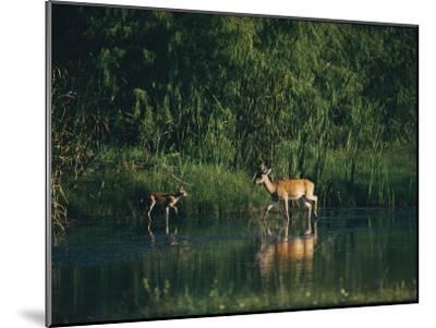 White-Tailed Deer Enjoy Year-Round Asylum at the Aransas Refuge in Coastal Texas-Farrell Grehan-Mounted Photographic Print