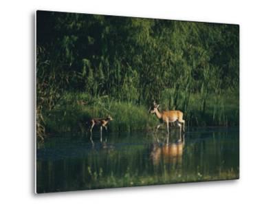 White-Tailed Deer Enjoy Year-Round Asylum at the Aransas Refuge in Coastal Texas-Farrell Grehan-Metal Print