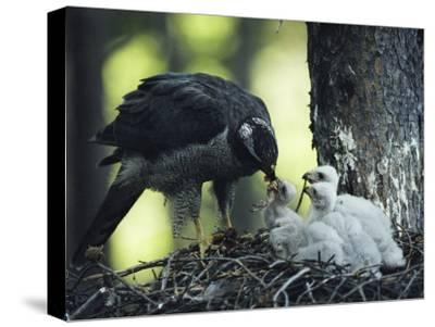 A Northern Goshawk Feeds its Scrawny White Chicks-Michael S^ Quinton-Stretched Canvas Print