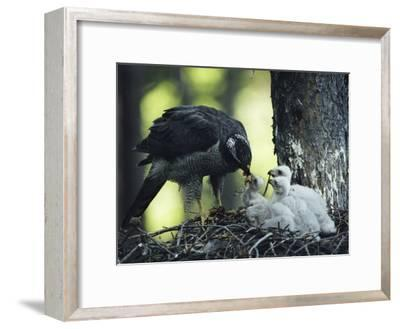 A Northern Goshawk Feeds its Scrawny White Chicks-Michael S^ Quinton-Framed Photographic Print