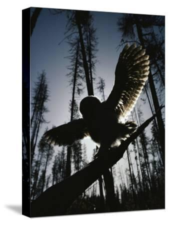 A Great Gray Owl, Five or Six Weeks Old, Spreads His Wings Wide-Michael S^ Quinton-Stretched Canvas Print