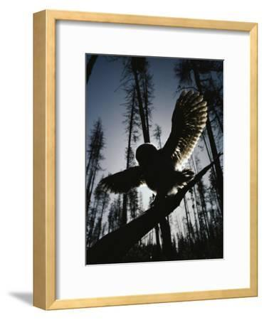 A Great Gray Owl, Five or Six Weeks Old, Spreads His Wings Wide-Michael S^ Quinton-Framed Photographic Print