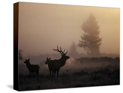 A Bull Elk Stands with Two Females in the Twilight Haze-Michael S^ Quinton-Stretched Canvas Print