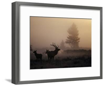 A Bull Elk Stands with Two Females in the Twilight Haze-Michael S^ Quinton-Framed Photographic Print