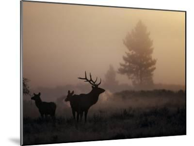 A Bull Elk Stands with Two Females in the Twilight Haze-Michael S^ Quinton-Mounted Photographic Print
