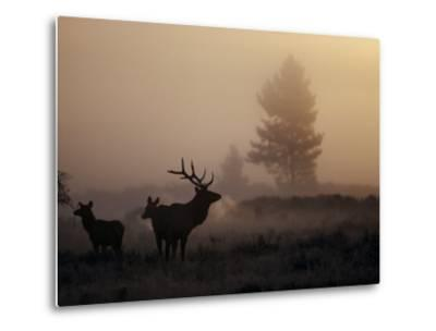 A Bull Elk Stands with Two Females in the Twilight Haze-Michael S^ Quinton-Metal Print