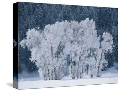 Cottonwood Trees with Frost Near Steamboat Springs, Colorado-Skip Brown-Stretched Canvas Print