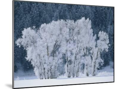 Cottonwood Trees with Frost Near Steamboat Springs, Colorado-Skip Brown-Mounted Photographic Print