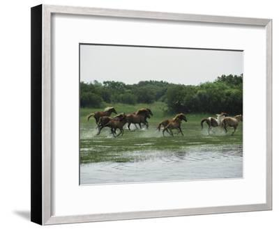 A Herd of Chincoteague Ponies Thunder Through the Assateague Marshes-Medford Taylor-Framed Photographic Print