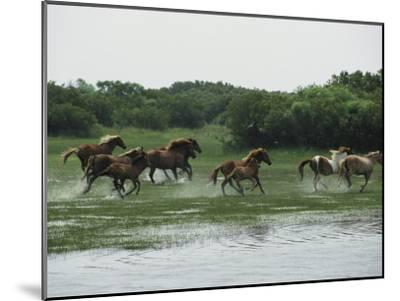 A Herd of Chincoteague Ponies Thunder Through the Assateague Marshes-Medford Taylor-Mounted Photographic Print