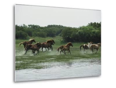 A Herd of Chincoteague Ponies Thunder Through the Assateague Marshes-Medford Taylor-Metal Print