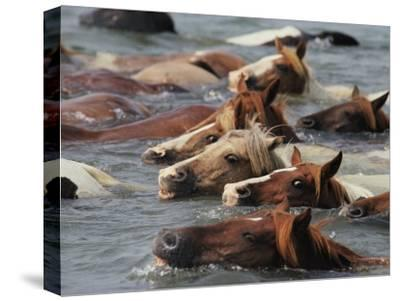 Wild Chincoteague Ponies Swim the Assateague Channel to Auction-Medford Taylor-Stretched Canvas Print