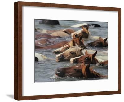 Wild Chincoteague Ponies Swim the Assateague Channel to Auction-Medford Taylor-Framed Photographic Print