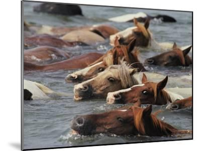 Wild Chincoteague Ponies Swim the Assateague Channel to Auction-Medford Taylor-Mounted Photographic Print