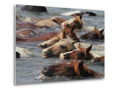Wild Chincoteague Ponies Swim the Assateague Channel to Auction-Medford Taylor-Metal Print