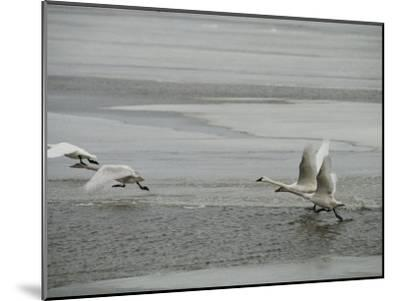 Swans Run Across the Waters Surface as They Prepare for Flight-Medford Taylor-Mounted Photographic Print