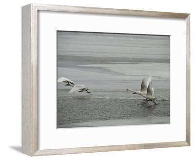 Swans Run Across the Waters Surface as They Prepare for Flight-Medford Taylor-Framed Photographic Print