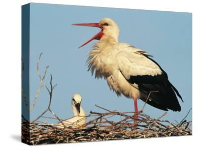 Stork Vocalizing in Nest with Young-Norbert Rosing-Stretched Canvas Print
