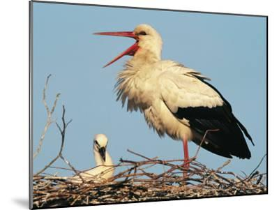 Stork Vocalizing in Nest with Young-Norbert Rosing-Mounted Photographic Print