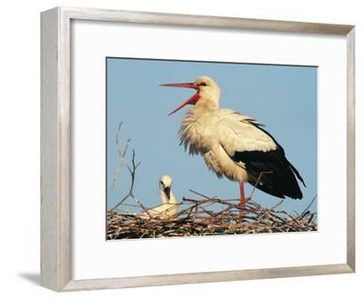 Stork Vocalizing in Nest with Young-Norbert Rosing-Framed Photographic Print