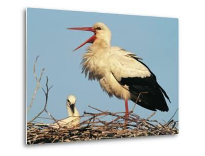 Stork Vocalizing in Nest with Young-Norbert Rosing-Metal Print