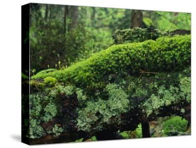 Woodland Mosses-Norbert Rosing-Stretched Canvas Print