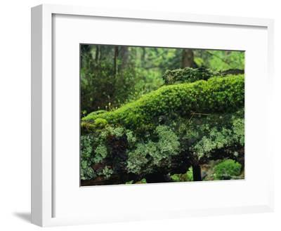 Woodland Mosses-Norbert Rosing-Framed Photographic Print