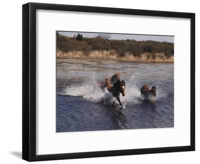 Wild Chincoteague Ponies Swim the Assateague Channel-Medford Taylor-Framed Photographic Print