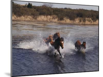 Wild Chincoteague Ponies Swim the Assateague Channel-Medford Taylor-Mounted Photographic Print