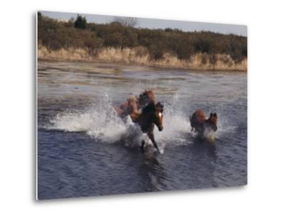 Wild Chincoteague Ponies Swim the Assateague Channel-Medford Taylor-Metal Print